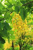 花。黃金雨。阿勃勒:IMG_5829.jpg