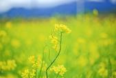 花東縱谷。油菜花:IMG_12474-40.jpg