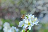 春。李花:IMG_7536.jpg