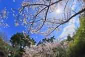 櫻。陽明山花季:IMG_0312.jpg
