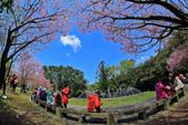 櫻。陽明山花季:IMG_14855.jpg
