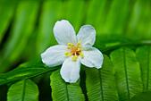 花。五月雪油桐花:IMG_0441.jpg