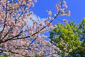 櫻。陽明山花季:IMG_14872.jpg