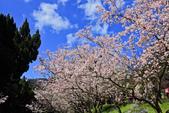 櫻。陽明山花季:IMG_14881.jpg