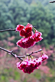 九族。櫻花季:IMG_46521.jpg