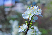 春。李花:IMG_7525.jpg