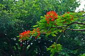 花。鳳凰木:IMG_4534.jpg