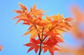 槭紅。:IMG_8702.jpg