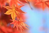 槭紅。:IMG_8703.jpg
