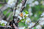 春。李花:IMG_7532.jpg