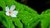 花。五月雪油桐花:IMG_0508.jpg