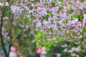 櫻。陽明山:IMG_8668.jpg