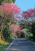 櫻。滬尾櫻花大道:IMG_14771.jpg