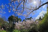 櫻。陽明山花季:IMG_0309.jpg