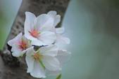 櫻。陽明山:IMG_8679.jpg