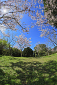 櫻。陽明山花季:IMG_0333.jpg