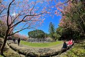 櫻。陽明山花季:IMG_14858.jpg