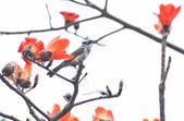 木棉花。:IMG_8720.jpg
