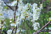 春。李花:IMG_7534.jpg