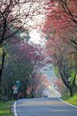 櫻。滬尾櫻花大道:IMG_14781.jpg
