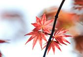 槭紅。:IMG_8707.jpg