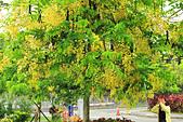 花。黃金雨。阿勃勒:IMG_5830.jpg