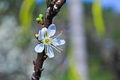 春。李花:IMG_7528.jpg