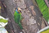 五色鳥。:IMG_10237.jpg