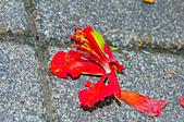 花。鳳凰木:IMG_4536.jpg