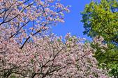 櫻。陽明山花季:IMG_14873.jpg