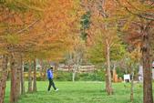 武陵。落羽松:IMG_11881.jpg