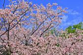 櫻。陽明山花季:IMG_14876.jpg