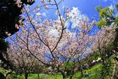 櫻。陽明山花季:IMG_14884.jpg