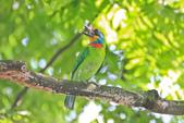 五色鳥。:IMG_10192.jpg
