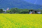 花東縱谷。油菜花:IMG_12435-1.jpg