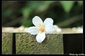 土城。桐花季:IMG_4372.jpg