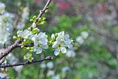 春。李花:IMG_7533.jpg