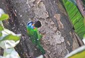 五色鳥。:IMG_10236.jpg