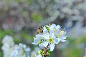 春。李花:IMG_7535.jpg