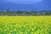 花東縱谷。油菜花:IMG_12437-3.jpg