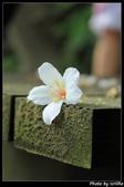 土城。桐花季:IMG_4373.jpg