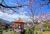 櫻。屈尺公園:IMG_7528.jpg