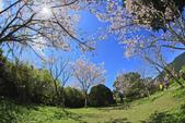 櫻。陽明山花季:IMG_0332.jpg
