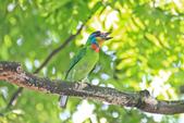 五色鳥。:IMG_10190.jpg