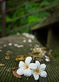花。五月雪油桐花:IMG_0417.jpg