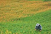 六十石山の金針花季。:IMG_10571.jpg