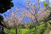 櫻。陽明山花季:IMG_14871.jpg