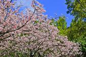 櫻。陽明山花季:IMG_14877.jpg