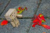 花。鳳凰木:IMG_4537.jpg