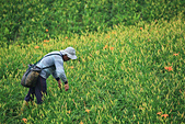 六十石山の金針花季。:IMG_10575.jpg